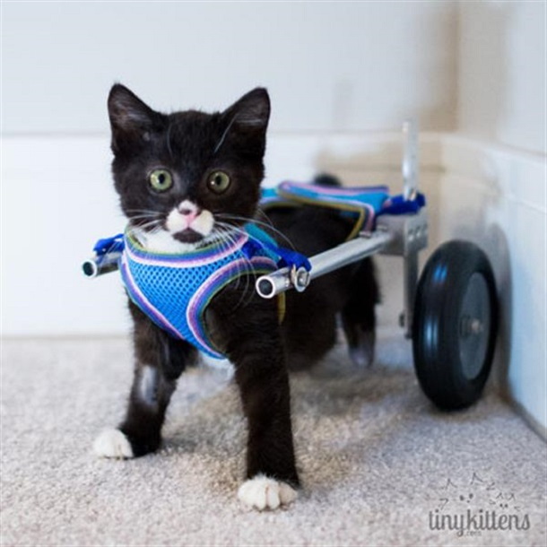 3D Printed Wheelchair Enables Handicapped Kitten to Walk Again